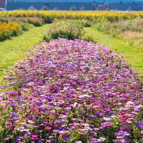 Twentsche-Bloemenpluktuin-grote-bloemenpluktuin