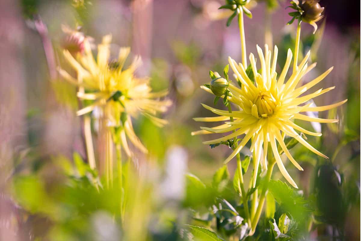 Twentsche-Bloemenpluktuin-prachtige-bloemen-plukken