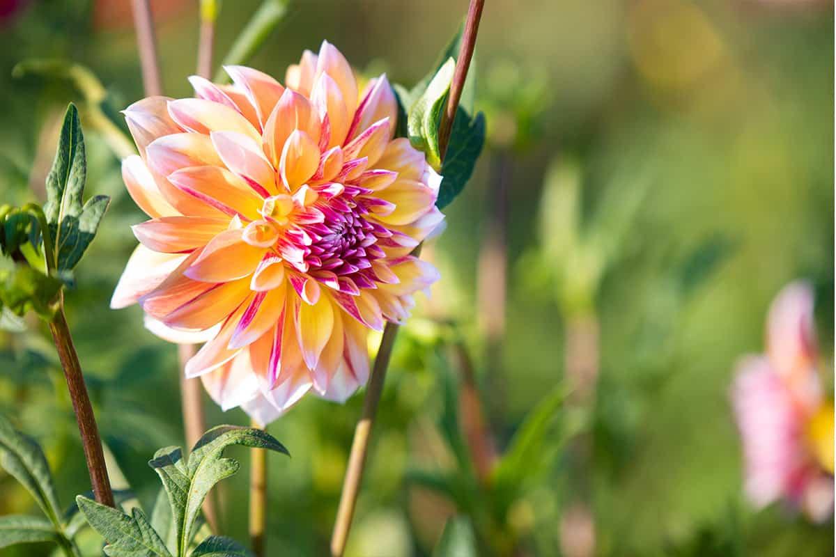 Twentsche-Bloemenpluktuin-prachtige-bloemen-twente